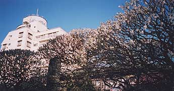 [White plum blossoms at Yushima Shrine]